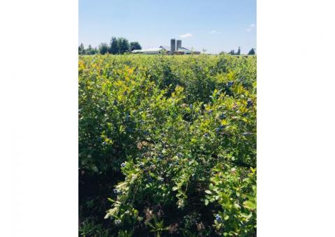 Upick blueberry farm open for season